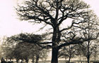 Oak Tree at Leamington Spa, supposed centre of England