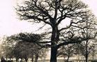 Oak Tree at Leamington Spa